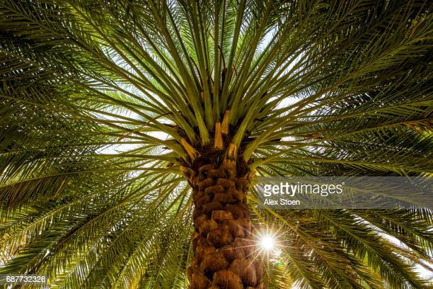 the date palm -  tree of life - date palm tree stock pictures, royalty-free photos & images
