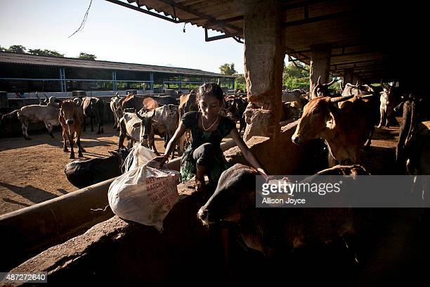The daughter of an employee helps her father in a cow shed at the Shree Gopala Goshala cow shelter September 7 2015 in Bhiwandi India Earlier this...
