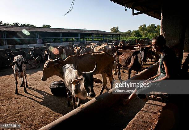 The daughter of an employee looks over a cow shed at the Shree Gopala Goshala cow shelter September 7 2015 in Bhiwandi India Earlier this year the...