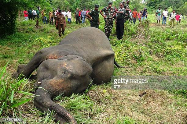 TOPSHOT The dead body of an elephant is seen laying in a field near Sigiriya village some 177 kms north of the capital of Colombo on September 28...