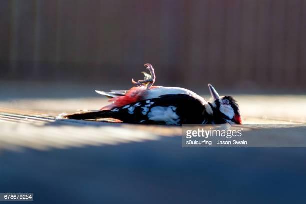 The Dead Woodpecker