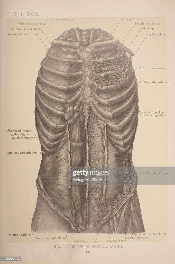 The Deep Epigastric Artery Arises From The External Iliac Artery