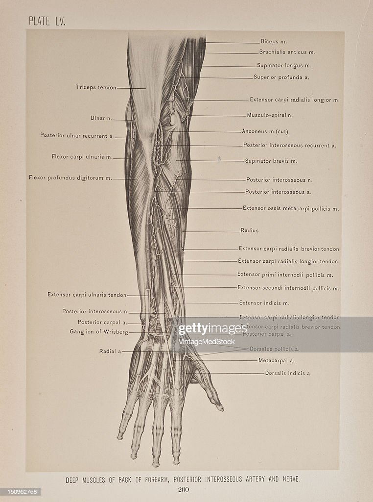 Deep Muscles Of Back Of Forearm Posterior Interosseous Artery
