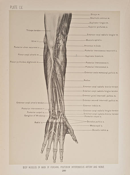 Deep Muscles Of Back Of Forearm, Posterior Interosseous Artery ...