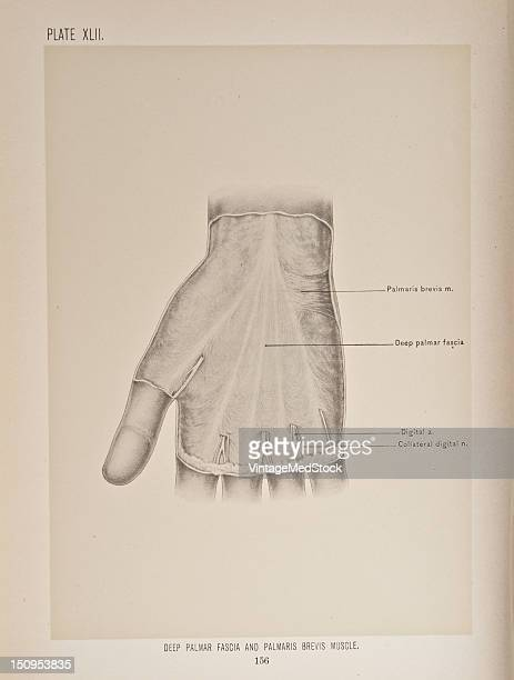 The deep palmar fascia is intimately united to the skin in the middle of the palm and less so at the sides 1899 From 'The Treatise of the Human...