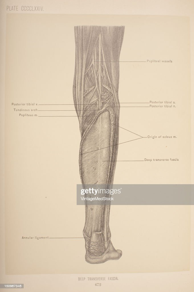 Deep Transverse Fascia Pictures | Getty Images