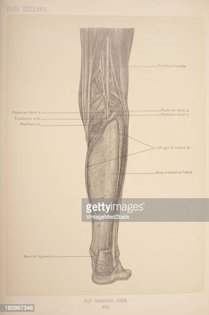 The deep transverse fascia is a transversely placed intermuscular septum between the superficial and deep muscles of the back of the leg 1903 From...