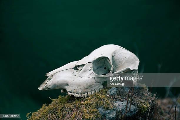 The deer bone.