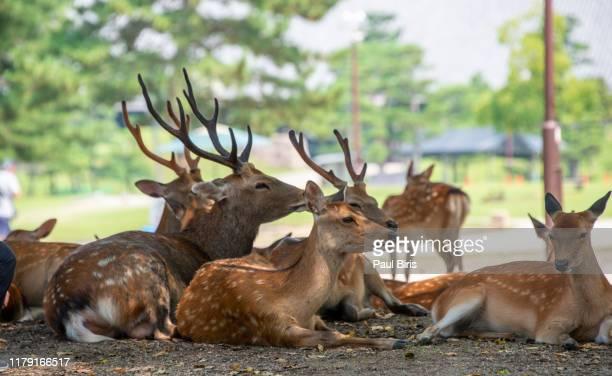 the deers at nara park in the summer, nara, japan - 奈良市 ストックフォトと画像