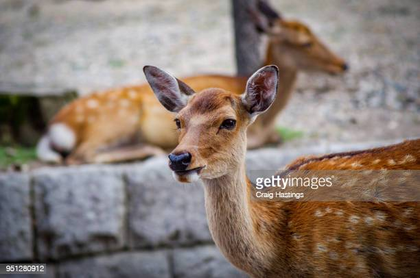 The Deers of Nara near Kyoto