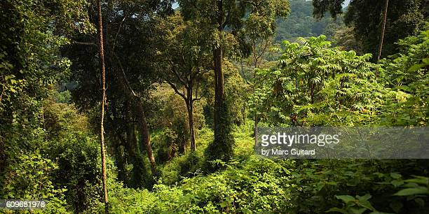 The dense jungle canopy of Nyungwe Forest National Park. The park is a reserve in the south of Rwanda near the border of Burundi.