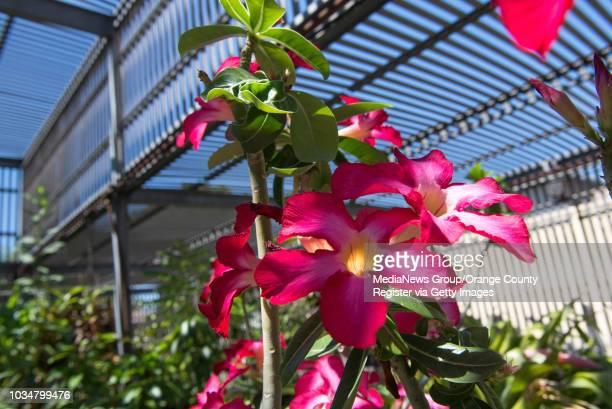 The Desert Rose flower growing at the Biology Greenhouse Complex at Cal State Fullerton INFORMATION csgreenhouse0918 Ð 9/3/13 Ð LEONARD ORTIZ...