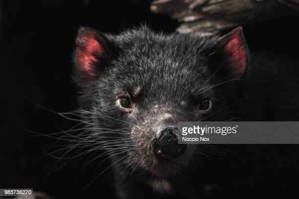 the devil of tasmania - marsupial imagens e fotografias de stock