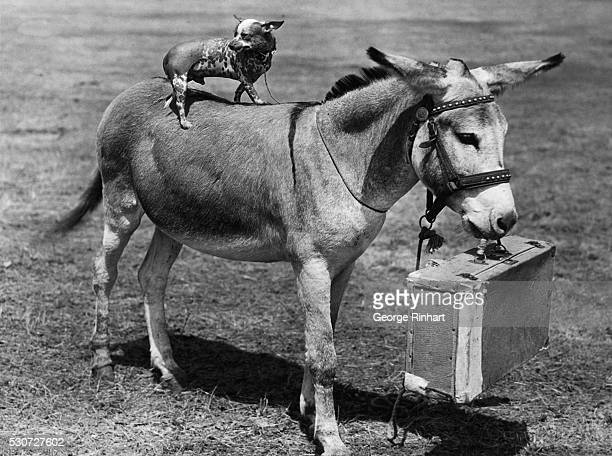 The diminutive Bingo a Mexican hairless dog rides a suitcasetoting Danger the donkey The two trained animals owned by Charles Schultz of Marlin...