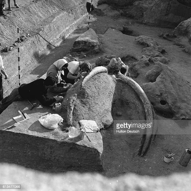 The discovery of the remains of a mammoth near Madrid in 1956 was thought to be most important discovery of its kind for 50 years because all...