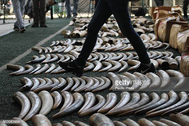 The displayed 789kg of smuggled elephant tusks at the Customs Department seized at Koh Samui airport from Africa along with it is also 587kg of...