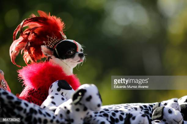 The dog April Moon attend the 27th Annual Tompkins Square Halloween Dog Parade in Tompkins Square Park on October 21, 2017 in New York City. More...