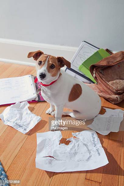 the dog ate my homework - jack russell terrier stock pictures, royalty-free photos & images