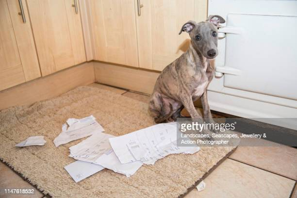the dog ate my homework - home schooling stock pictures, royalty-free photos & images