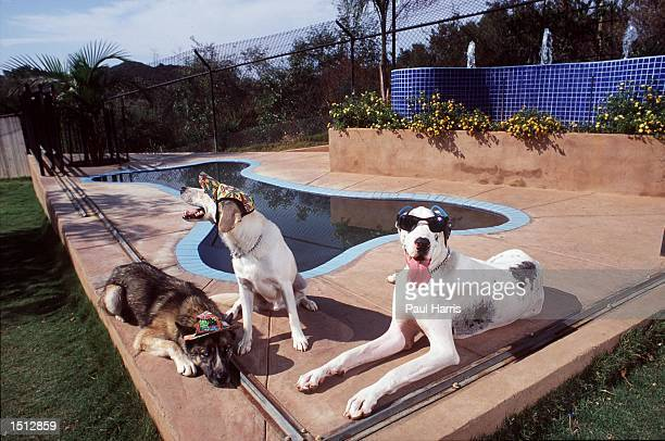 The dog days of summer as guests Roxy a Malamute Doodle a Labrador mix and Cleo a Great Dane rest beside the bone shaped pool at the Canyon View...