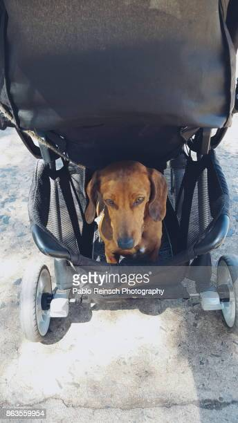 the dog in the baby carriage. - teckel stock photos and pictures