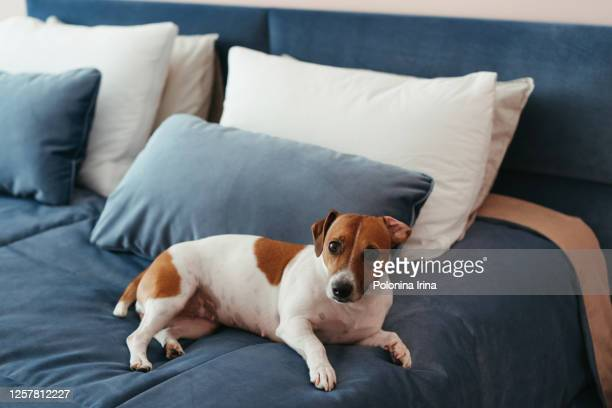 the dog is lying on the bed. - jack russell terrier stock pictures, royalty-free photos & images
