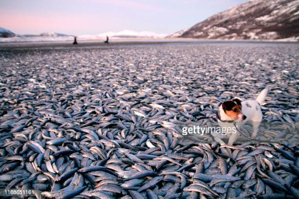 The dog Molly walkS around tons of dead herring on a beach in at Kvaenes in Nordreisa northern Norway on January 2 2012 AFP PHOTO Jan Petter...
