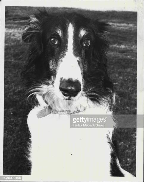 The dog of the week for issue 29/7/1984Turgnoff A 55 year old male desexed BorzoiThis week's dog is Turganoff a beautiful fiveyearold male Borzoi a...