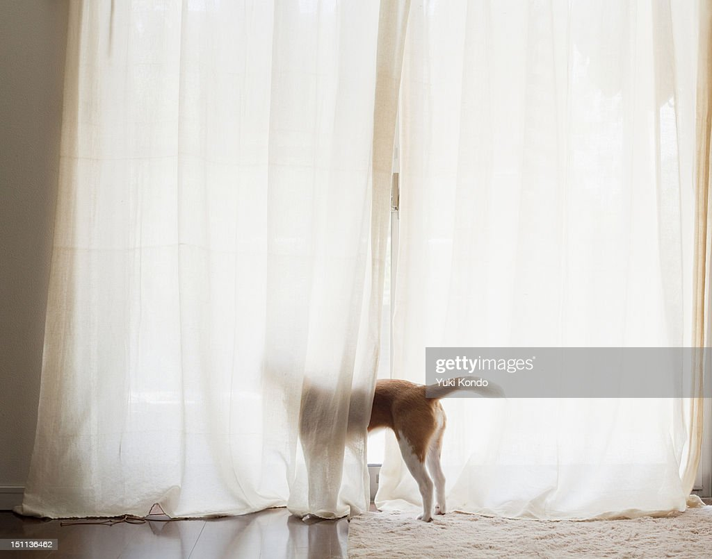 The dog which looks at the outside of a window. : Stock Photo