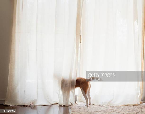 The dog which looks at the outside of a window.