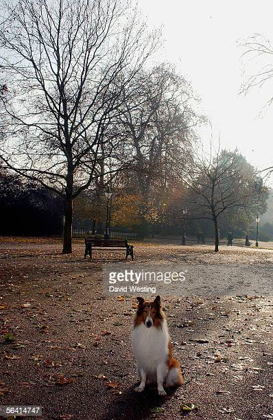 The dog who plays Lassie poses at a photocall for the new Lassie film based on Eric Knight's Lassie Come Home at Hyde Park Corner Band Stand on...