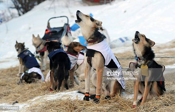 The dogs of Iditarod musher Allen Moore from Two Rivers howl as they prepare to leave the Takotna checkpoint during the 2014 Iditarod Trail Sled Dog...