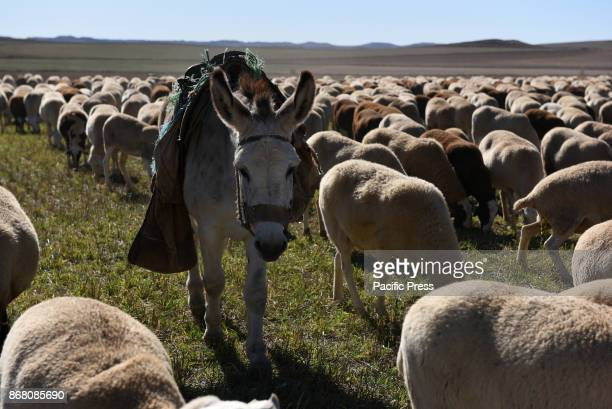 The donkey 'Felipe' pictured with a flock of sheep in the small village of Sauquillo de Boñices north of Spain Felipe is one of the last donkeys of...