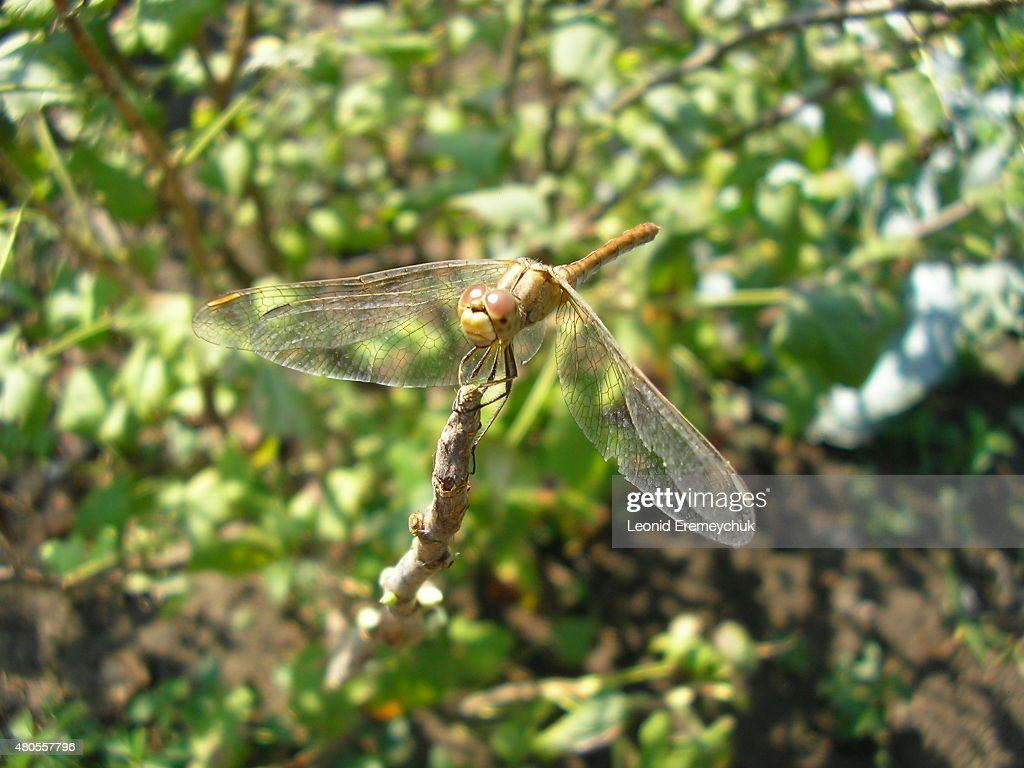 The dragonfly : Stock Photo