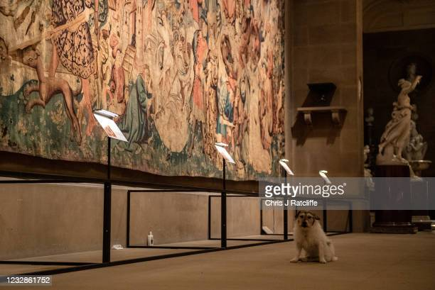 The Duchess of Devonshires dog Max sits in front of the Devonshire Hunting Tapestries at their home, Chatsworth House on May 13, 2021 in Bakewell,...