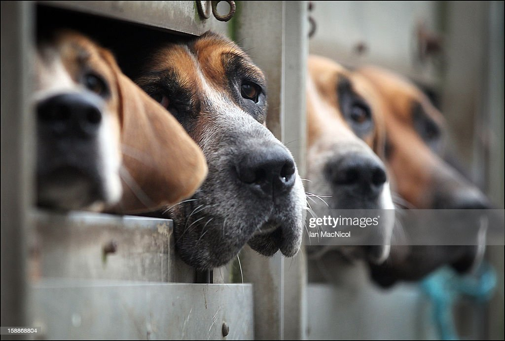 The Duke of Buccleugh's Fox hounds eagerly await being released from their trailer to take part in a fox hunt on November 08, 2011 in St Boswells, Scotland.