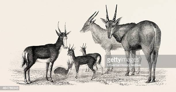 The Earl Of Derby's Menagerie At Knowsley UK Boute Bok Gazelles Male And Female Elands