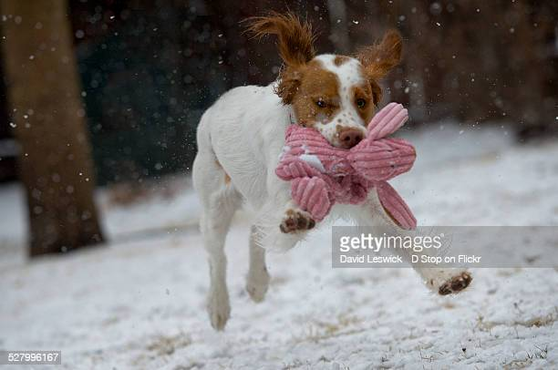 the easter bunny hop - brittany spaniel stock pictures, royalty-free photos & images