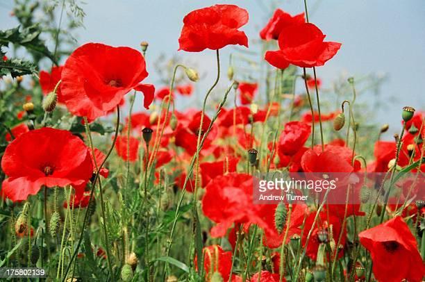 The edge of a poppy field near Wherwell, Hampshire.