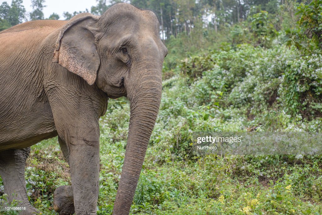 The Elephant Conservation Center In Laos : ニュース写真