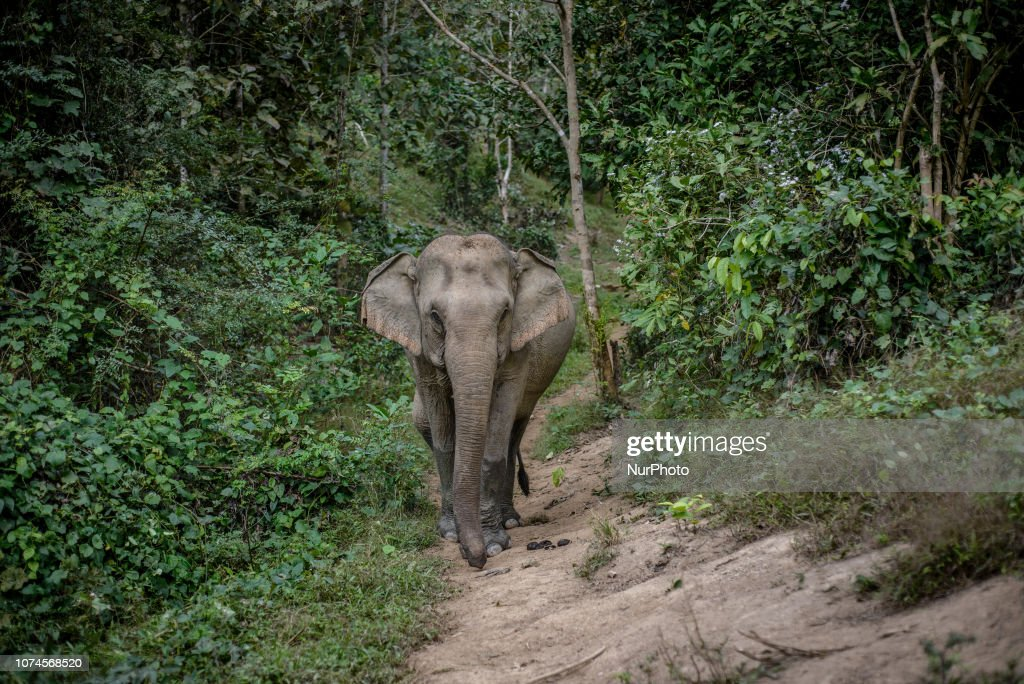 The Elephant Conservation Center In Laos : News Photo
