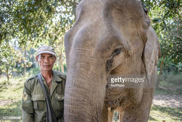 The Elephant Conservation Center Sayaboury Laos in December 2018 An elephant on a daily inspection at the hospital in the Elephant Conservation...