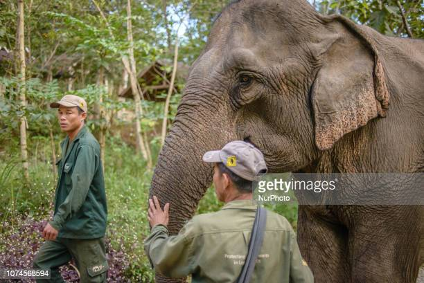 The elephant goes to his daily examination at the hospital in the Elephant Conservation Center Sayaboury Laos in December 2018 Laos was known as The...