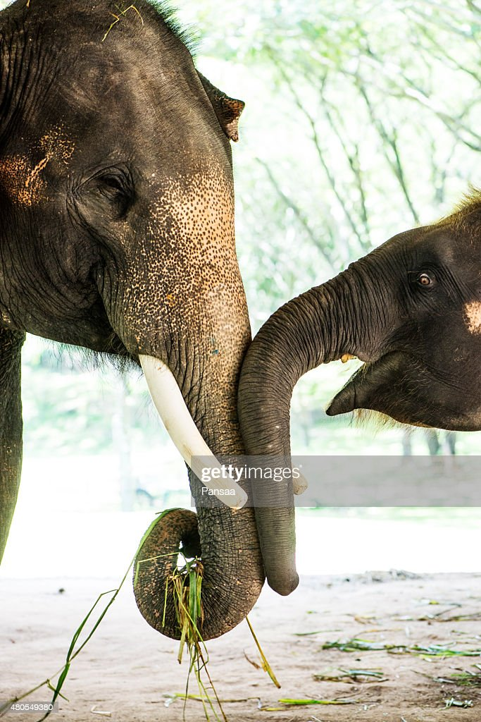 The elephant in nature : Stock Photo