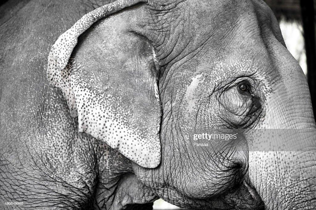 O elefante na natureza : Foto de stock
