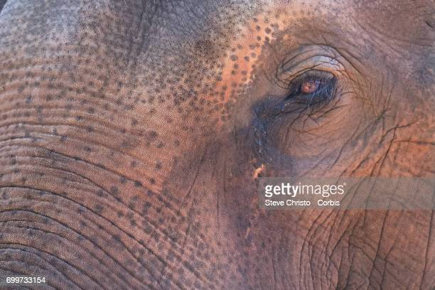 The elephant is Earth's largest land animal although the Asian elephant is slightly smaller than its African cousin Asian elephants can be identified...