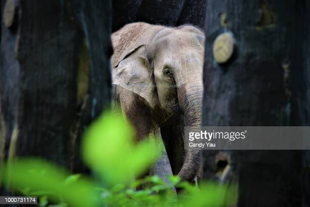 the elephant is playing hide and seek - malaysia stock-fotos und bilder