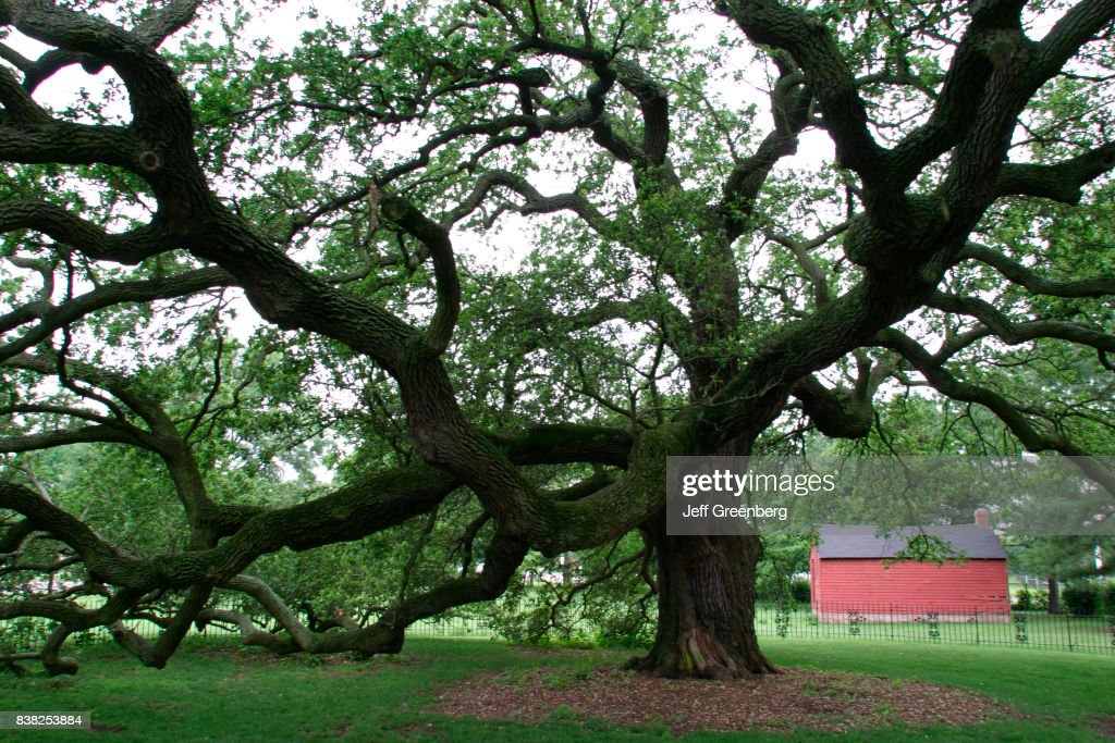 The Emancipation Oak on the campus of Hampton University,