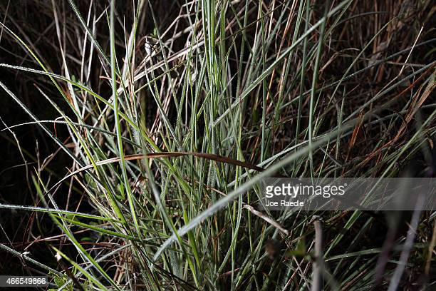 The endangered Everglades crabgrass is seen in the Everglades National Park on March 16 2015 in Miami Florida The Institute for Regional Conservation...