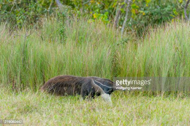 The endangered Giant anteater at Caiman Ranch in the Southern Pantanal in Brazil.